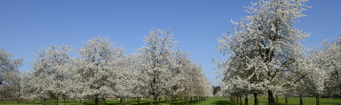 cerisiers en fleurs verger