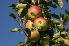 Pommes, fruit, branche