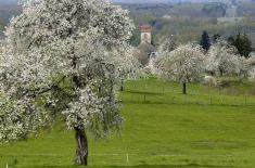 """Cerisiers  """"Prunus cerasus"""" en fleurs,  arbres ˆhautes  tiges,  clocher de Fougerolles"""