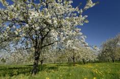 Cerisiers en fleursPrunus cerasusaFougerollesF7O