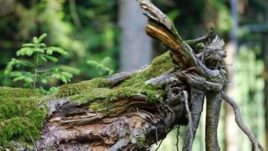 forêt - tronc arbre mort - petit sapin