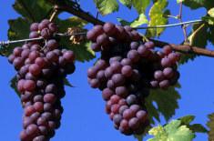 vigne grappe de raisin