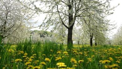 019-Verger en fleurs©Denis Gros