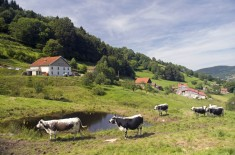 Ferme auberge Prenzieres vaches