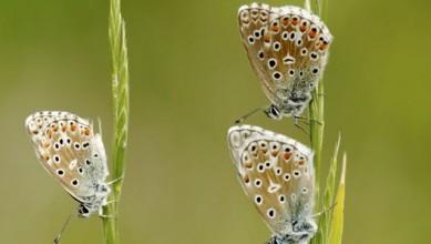 Papillons azures©Lorraine BENNERY