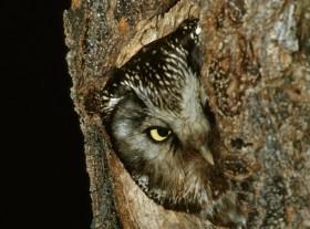 chouette Tengmalm nid