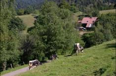 ferme auberge des buissonnets vaches ferme