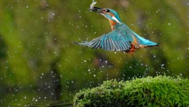 Martin pêcheur oiseau
