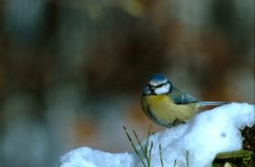 Mésange  hiver - oiseau