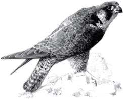 faucon dessin