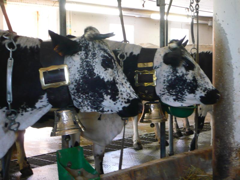 Valorisation de la race bovine vosgienne pnrbv - Chambre d agriculture des vosges ...